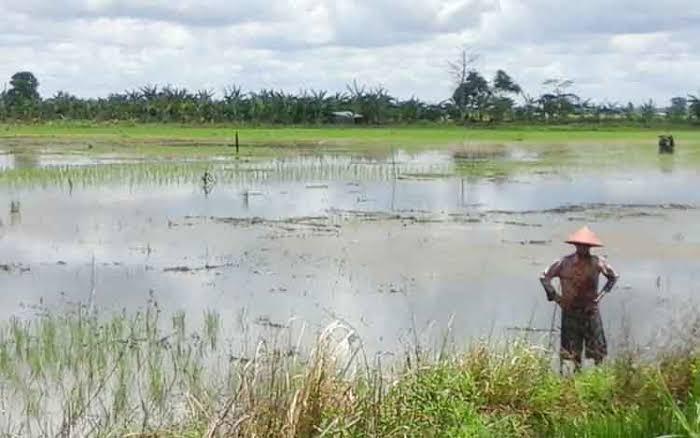 Ilustrasi : ratusan hektare lahan tanaman padi rusak