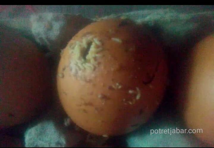 Kondisi telur yang sudah tembuhuk sehingga penuh dengan ulat. (Foto:Supardi/Redaksi)