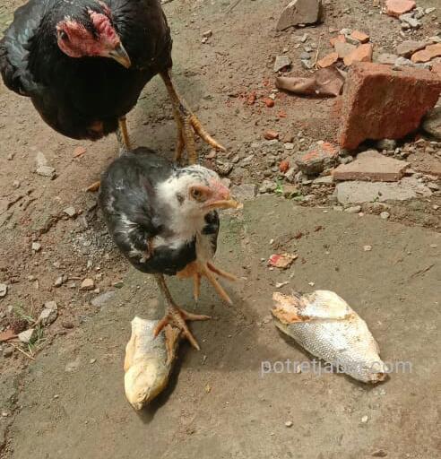 Ikan bandeng presto yang sudah busuk yang dikasihkan ke Ayam oleh warga Desa Sukakakerta lantaran tak layak konsumsi. (Foto:Supardi/Redaksi)